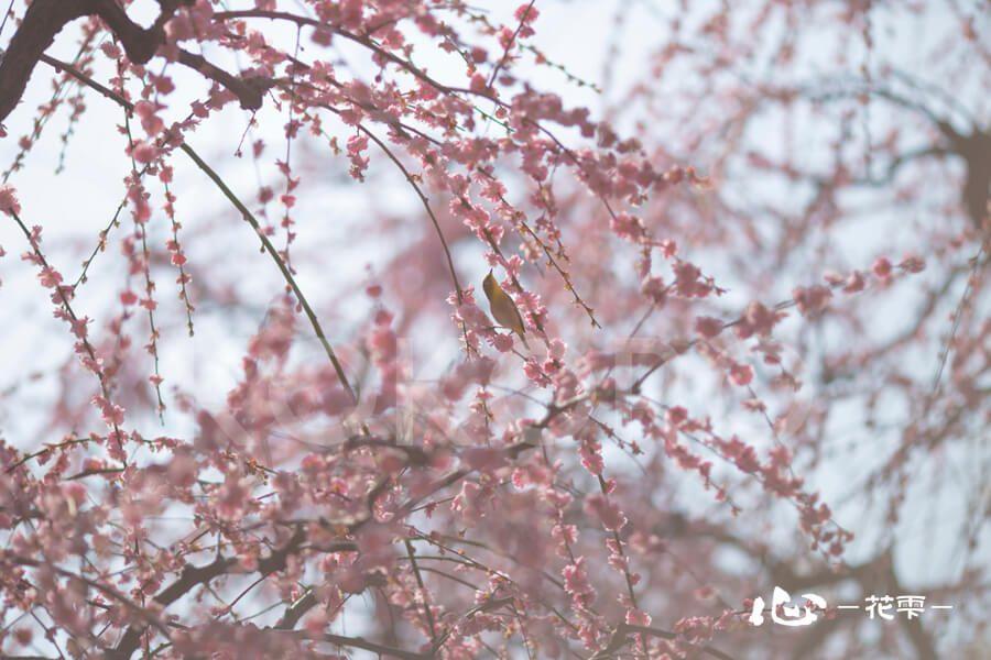 しだれ桜とメジロ